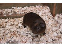 Guinea Pigs for sale 2 boys 10 months old