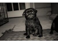 pupy pugs ready now one girl left