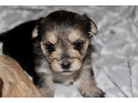 Beautiful Silkese Puppies For Sale