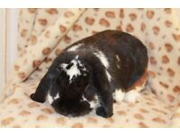 FOUND large male lop eared rabbit