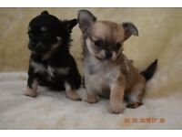 2 Beautiful Very Tiny Female Long Haired Chihuahua Puppies