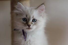 Siberian Neva Masquerade TICA Registered Kittens