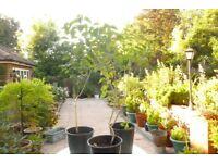 3 established lilac plants £5 each