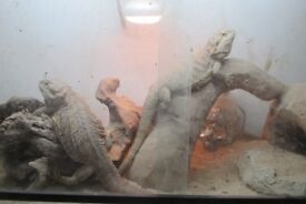 Pair of Beardies (breading pair) with viv and accessories £150.00 ovno