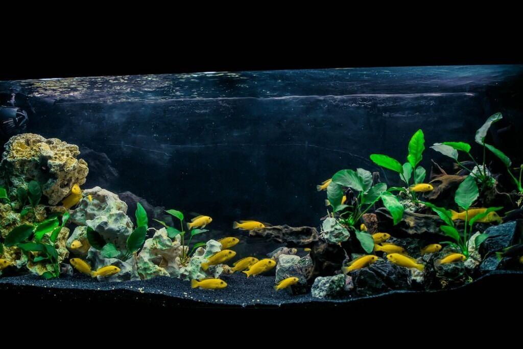 malawi mbuna fish aquarium in leicester leicestershire gumtree. Black Bedroom Furniture Sets. Home Design Ideas