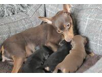 KC Reg Miniature Pinscher Puppies