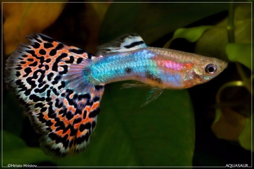 Tropical fish guppies hybrid guppy endlers 5 in for Koi pool blackpool
