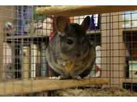 5 year old Chinchilla with Cage/Accessories