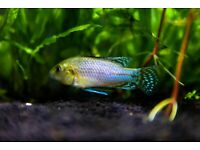 Male Dwarf Cichlid for sale