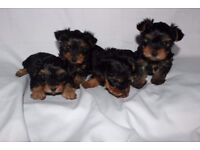 Yorkshire Terrier Mini Girls and Boys For Sale