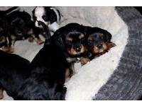 8 Cavalier King Charles puppies for sale