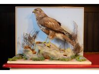 Antique Victorian Taxidermy Buzzard on Base
