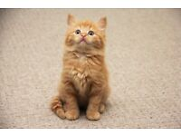 Extremely Fluffy gorgeous ginger kittens- both boys