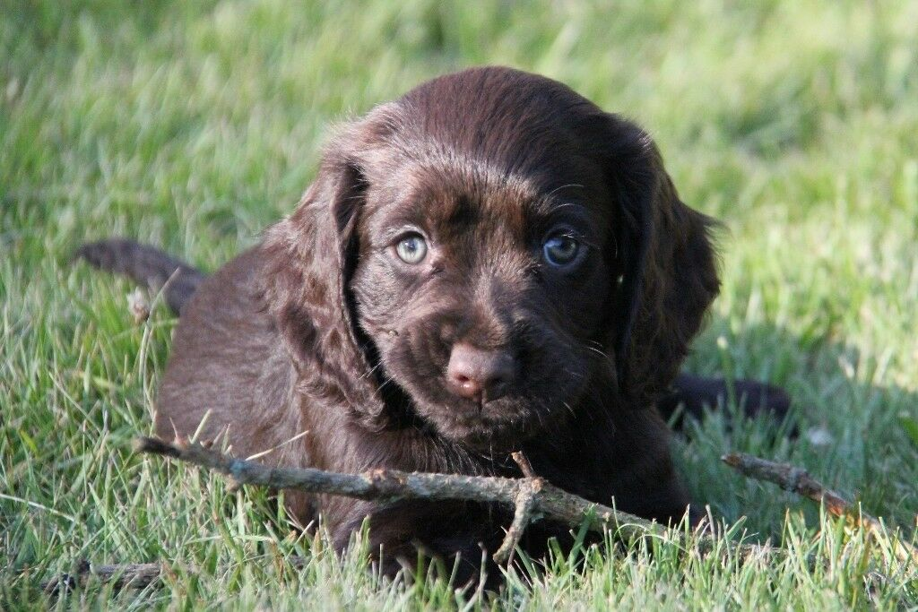 Gorgeous Kc Registered Cocker Spaniel Puppies Looking For A