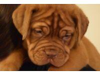 Kc reg Dogue de Bordeaux pups, ready 25th Nov