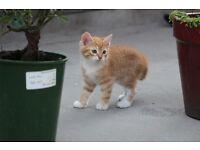 Kitten - Ginger.