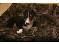 Gorgeous Border Collie Pup for Sale
