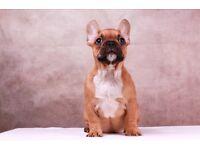 Beautiful 4 months Frech bulldogs