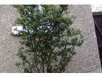 evergreen shrub and blueberry bush