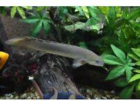 Large Bichir (Polypterus)