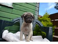 MALE KC PUG PUPPY READY TO GO