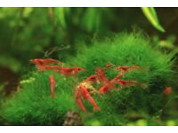 Red cherry shrimps - 15 shrimps for £10 or £1 each