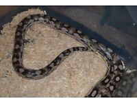 2 adult female corn snakes