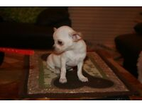 Smoothcoat Chihuahua puppies
