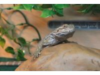 Juvenile Bearded Dragon Approximately 6 Months Old With 3ft Full Fitted Vivarium