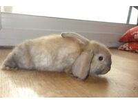 Giant German lop x French lop bunnies