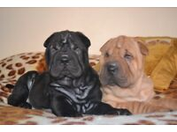 Ready now KC shar pei puppies, only 2 left!!