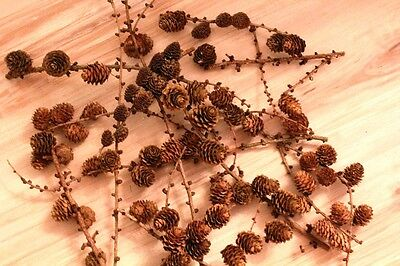 Lärchenzapfen 50 Stück Zapfen Dekoration Basteln Kranz Herbst Floristik Natur