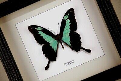 Papilio phorcas - echter Schmetterling im Schaukasten/Rahmen hinter Glas
