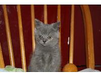 Male British Blue xx Persian Kitten