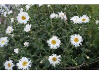 white daisy large flower in 9cm pots