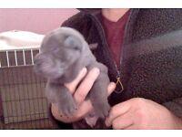 sharpei puppys