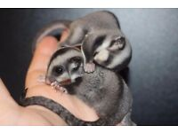 2 male sugar gliders