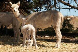 Alpacas for sale Hindmarsh Island Alexandrina Area Preview