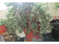 Indoor green money tree succulent plant
