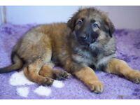 German shepherd sable boy