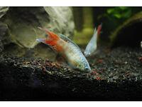 Female Paradisefish, Paradise fish, Macropodus Opercularis, Labyrinth Coldwater