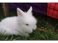 Pure bred Beautiful white baby Lionhead Rabbit