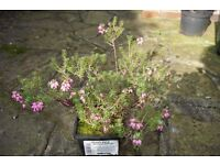 Heather plant flowering