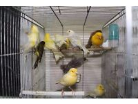 many type and colour Canary birds single & pair bird , white, red factor, Dimophic