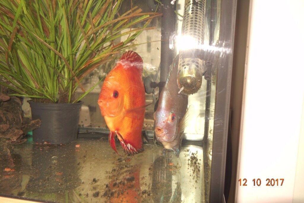 2 LARGE DISCUS FISH