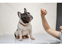 The best male French Bulldog-rehoming