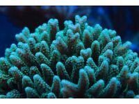 Marine Coral Birdsnest SPS Frag