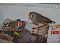 Zebra finch pair and cage