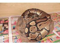 Royal , ball python