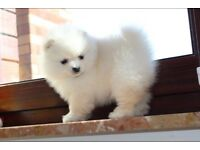 Small Pomeranian KC registered